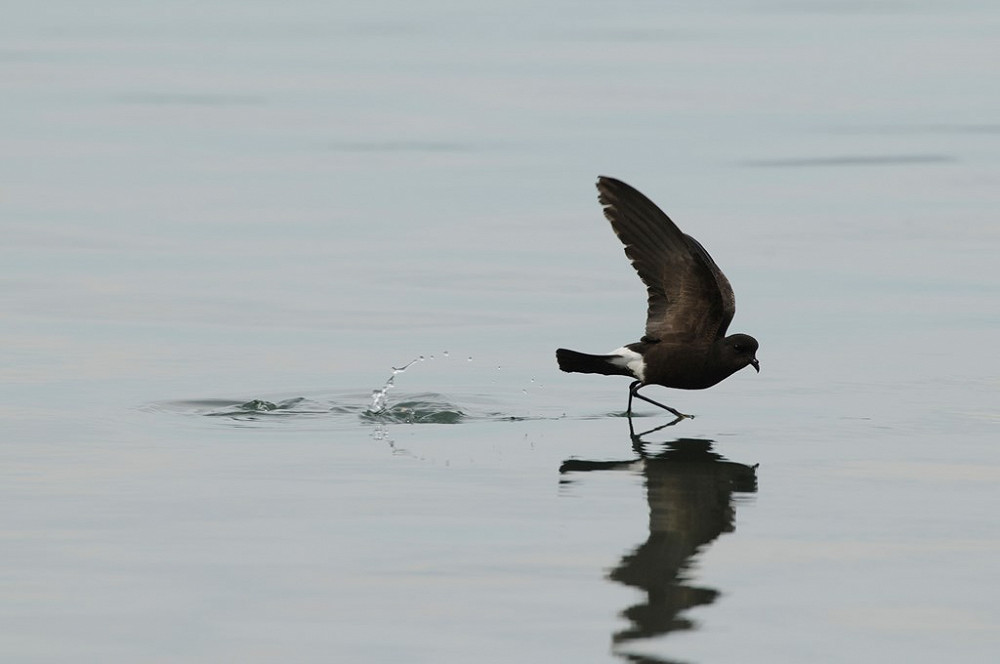 European Stormpetrel Photo RSPB Images Alastair Wilson