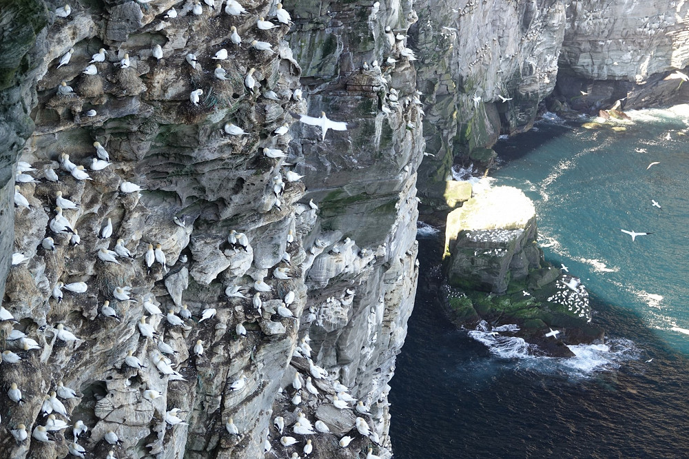 Tara Proud gannets noss compress